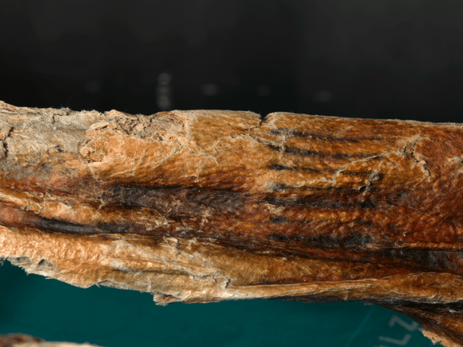 Upclose showing the tattoos of Ötzi the Iceman